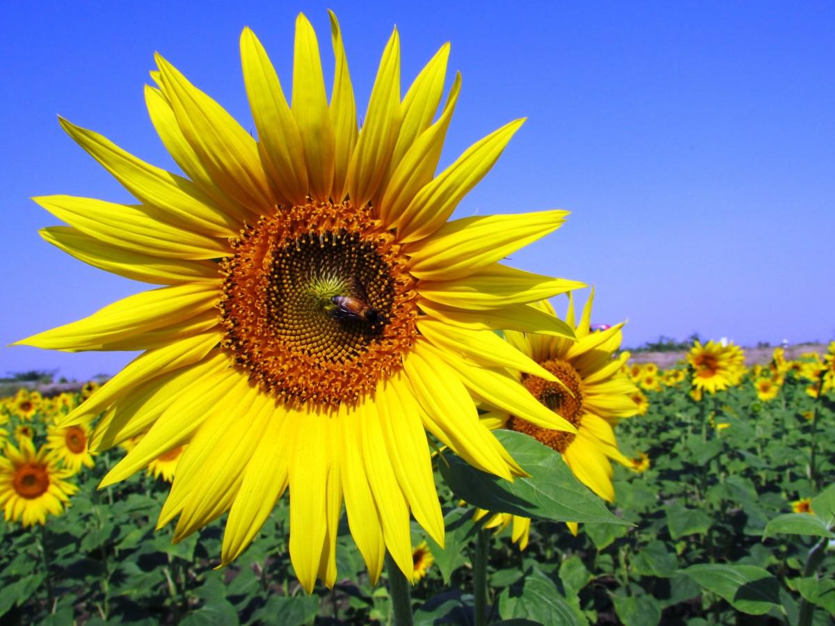 kostenlose foto feld blume sommer ernte gelb landwirtschaft sonnenblume blumen. Black Bedroom Furniture Sets. Home Design Ideas