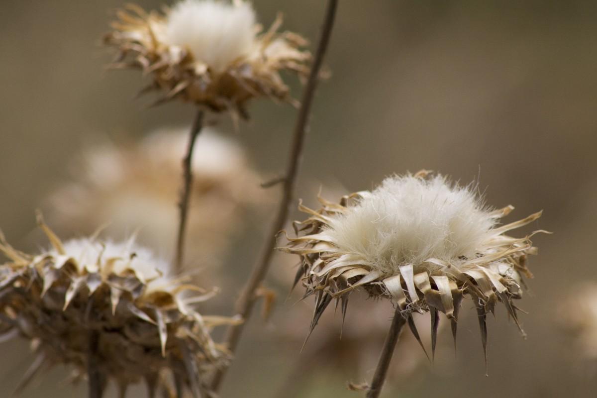 Branche Fleur De Coton images gratuites : la nature, herbe, branche, fleur, hiver