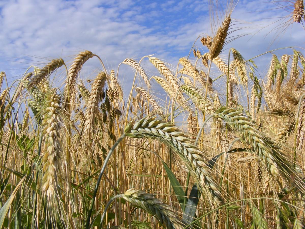 растения полей цветы трава и злаки картинки