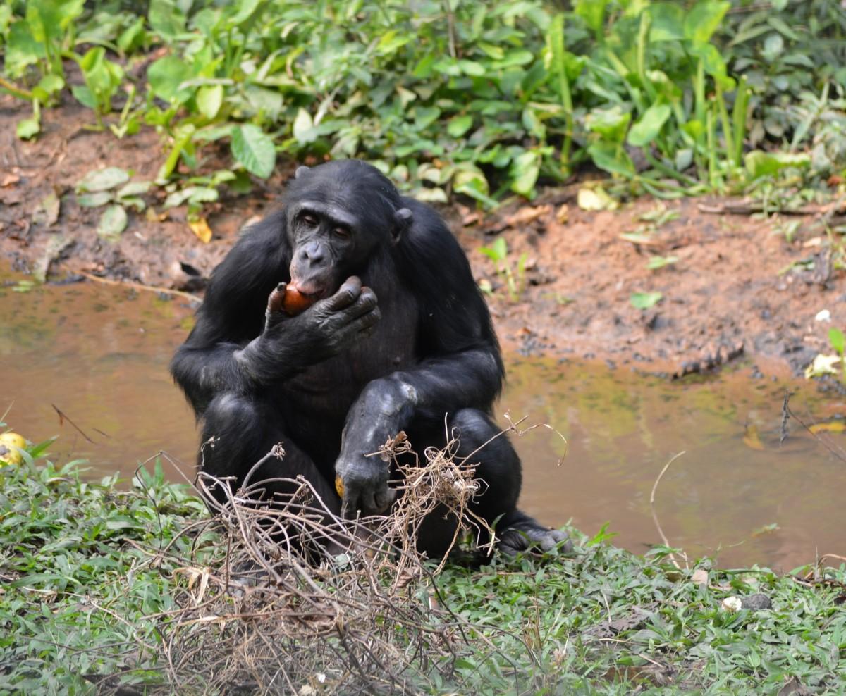 la nature, faune, zoo, jungle, Afrique, mammifère, faune, primate, chimpanzé, singe, vertébré, Bonobo, Gorille occidental, grand singe, Chimpanzé commun, Lola ya bonobo, République Démocratique du Congo, Kinshasa, Pan paniscus