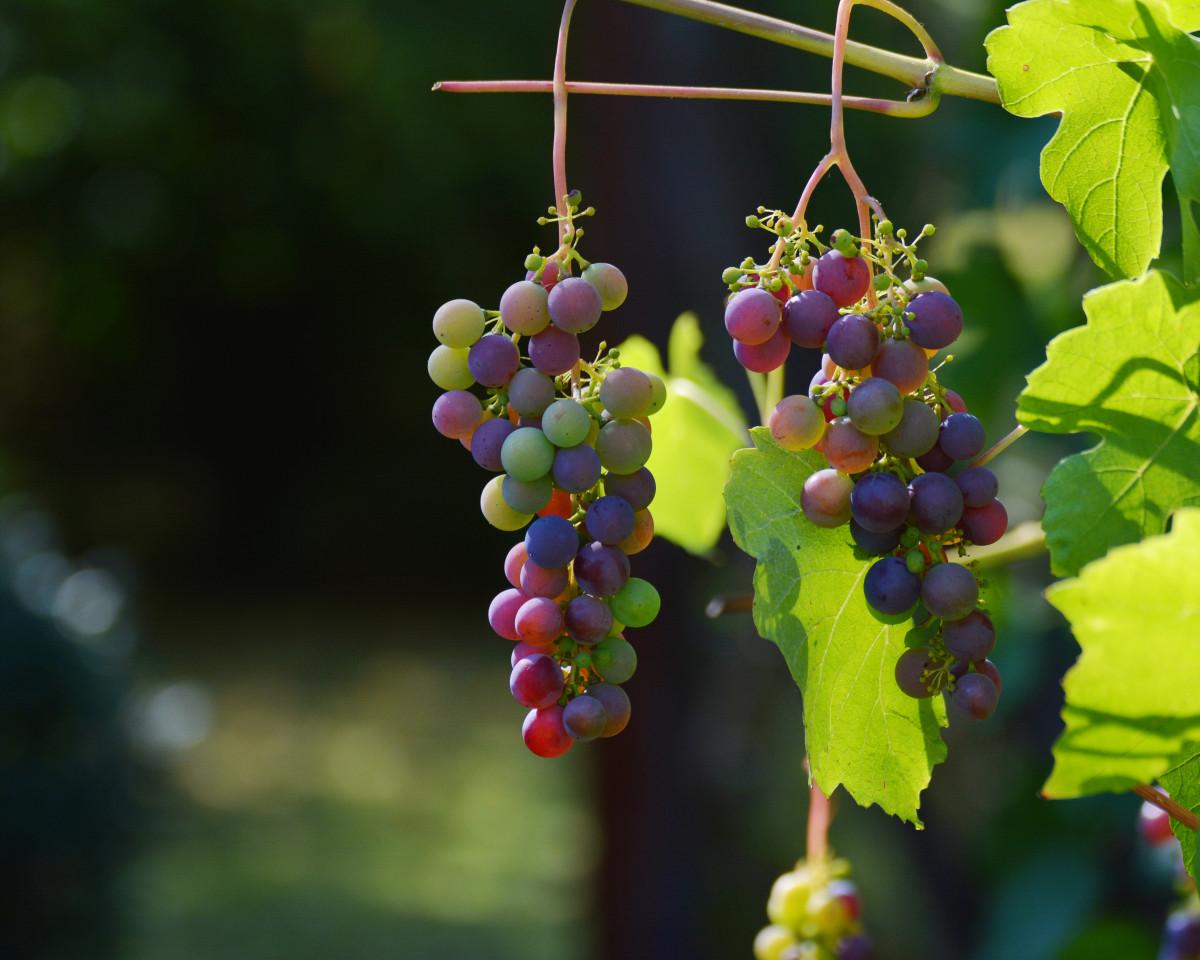 Фото виноград и цветы
