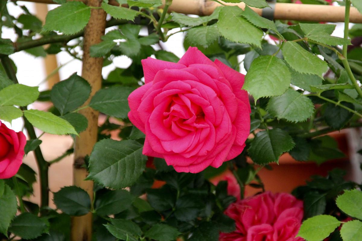kostenlose foto blume bl tenblatt rosen strauch floribunda bayreuth bl hende pflanze. Black Bedroom Furniture Sets. Home Design Ideas