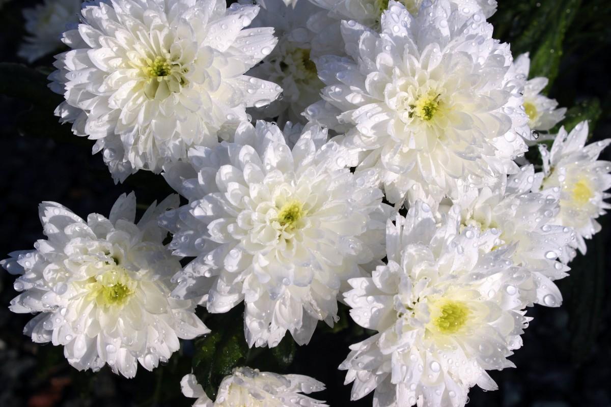 Картинки хризантемами, открытку марта