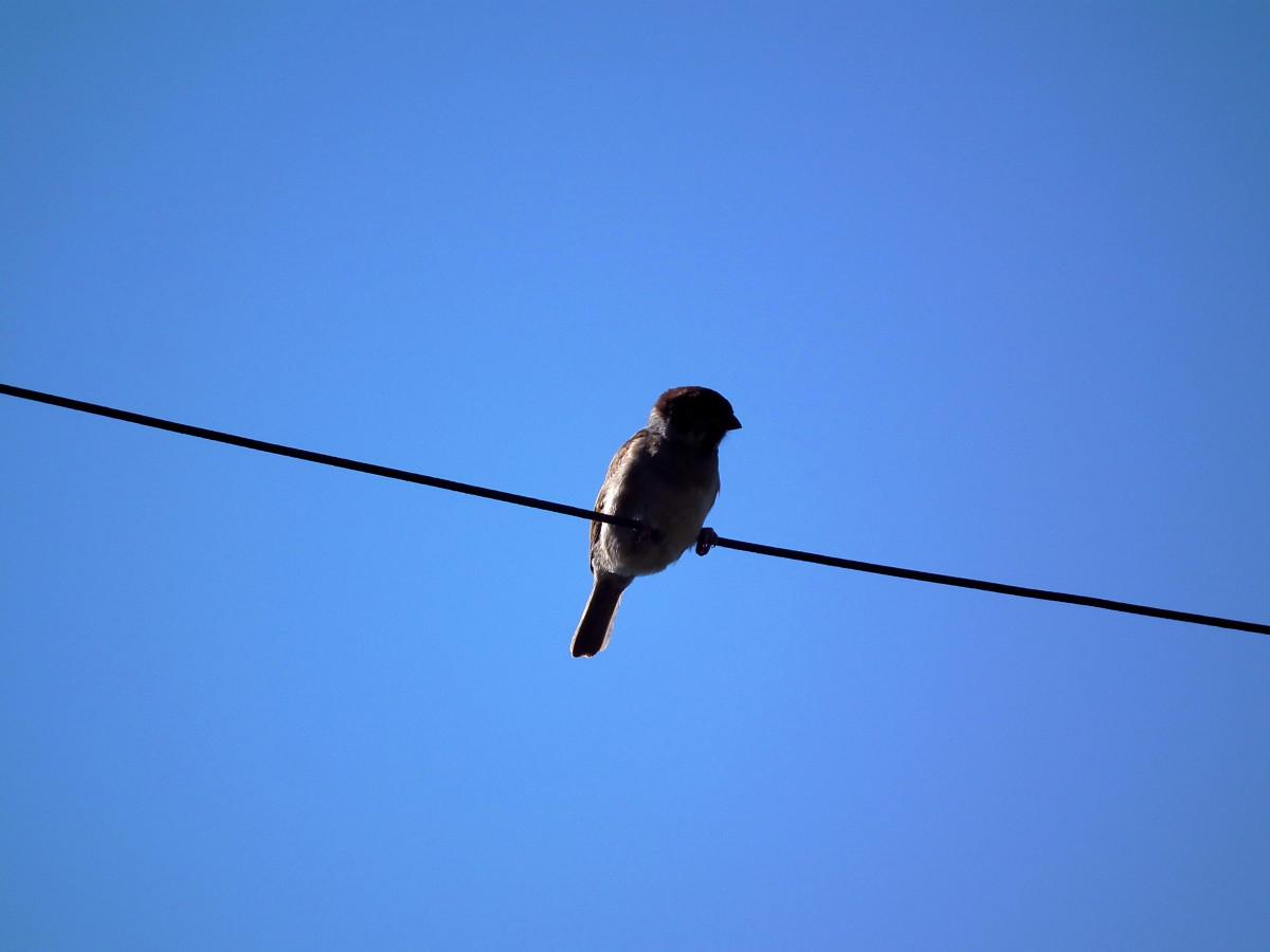 Images gratuites oiseau c ble ligne marron clairage for Oiseau marron