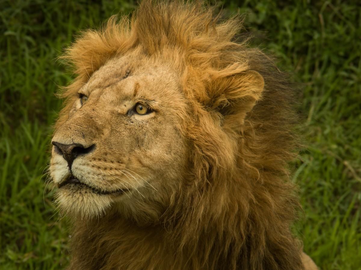 Free Images : wildlife, mane, fauna, savanna, whiskers ...