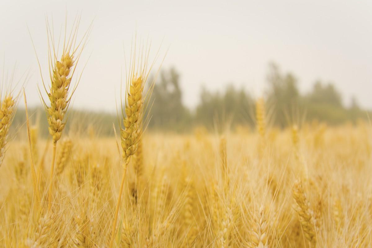 Gambar : di ladang gandum, panen 4272x2848 - - 1370361