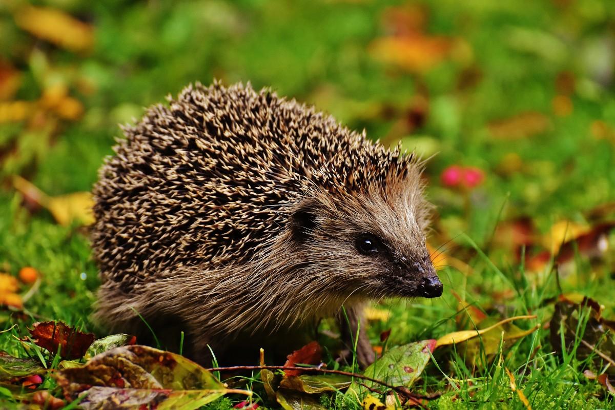 Hedgehog in a garden.