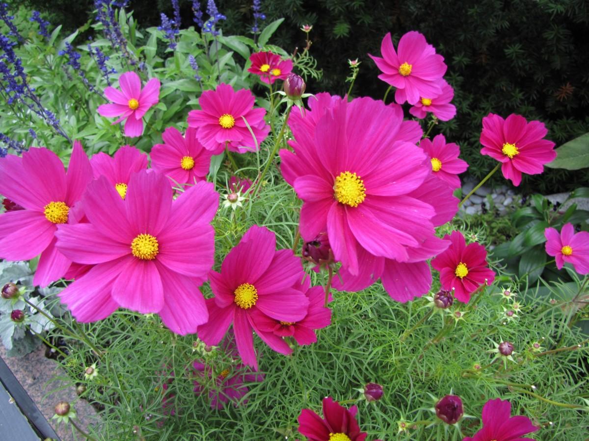 Images gratuites fleur p tale rose flore plantes d for Plantes ornement jardin