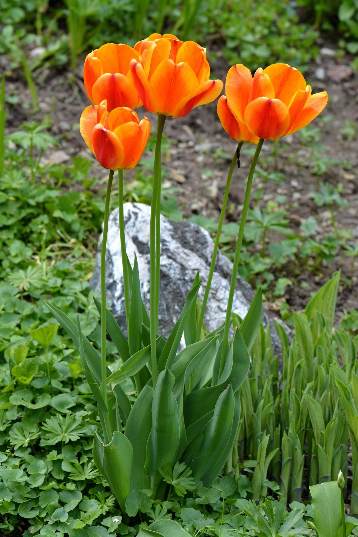 Fotos gratis naturaleza flor tulip n naranja - Cortar hierba alta ...