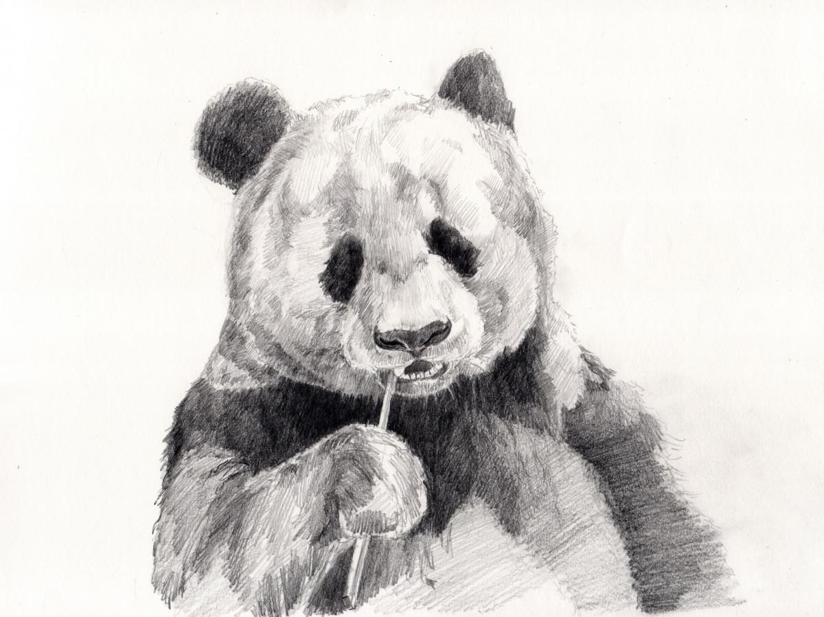 Панды картинки нарисованные карандашом, картинки