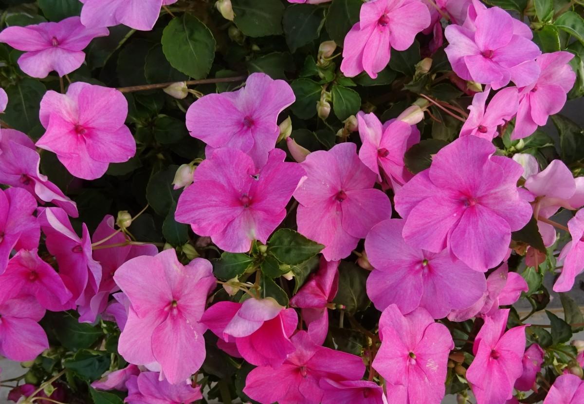 Free Images Flower Petal Flora Shrub India Kolkata