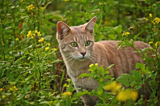 Hickorybreeze of WindClan Cat_mieze_breed_cat_flowers_mustard_field_kitten_mackerel-341985