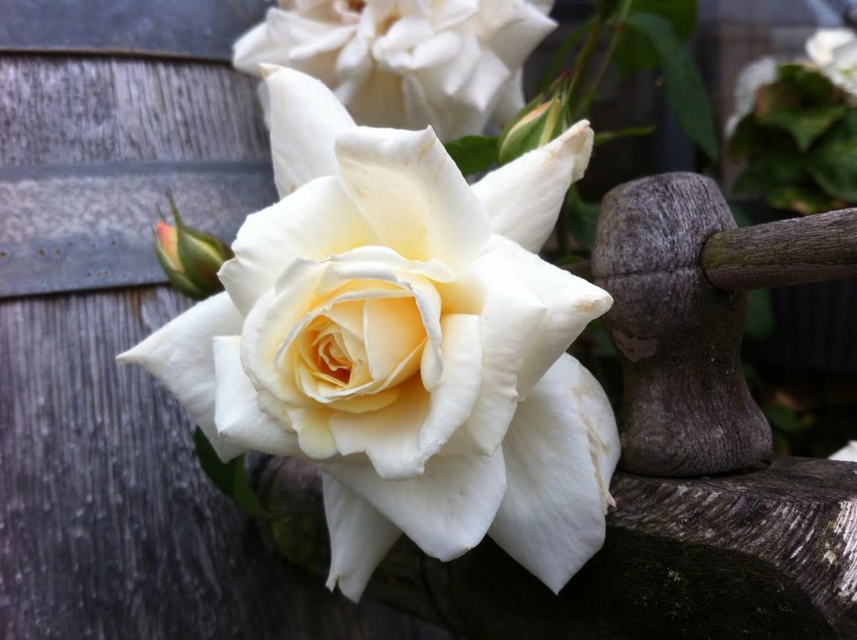 Banco de imagens plantar branco flor p tala flora - Cortar hierba alta ...