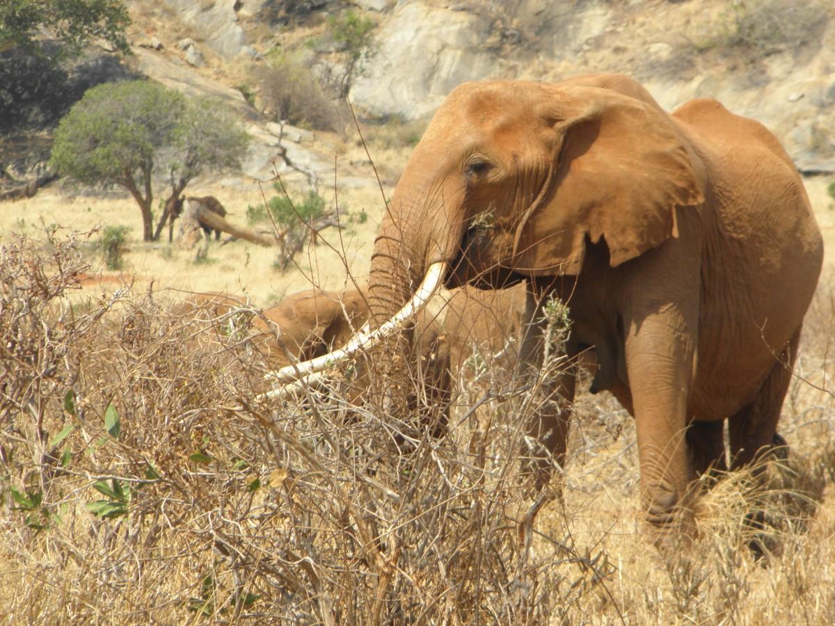 gratis afbeeldingen   wildlife  afrika  zoogdier  fauna  savanne  slagtand  safari  indische