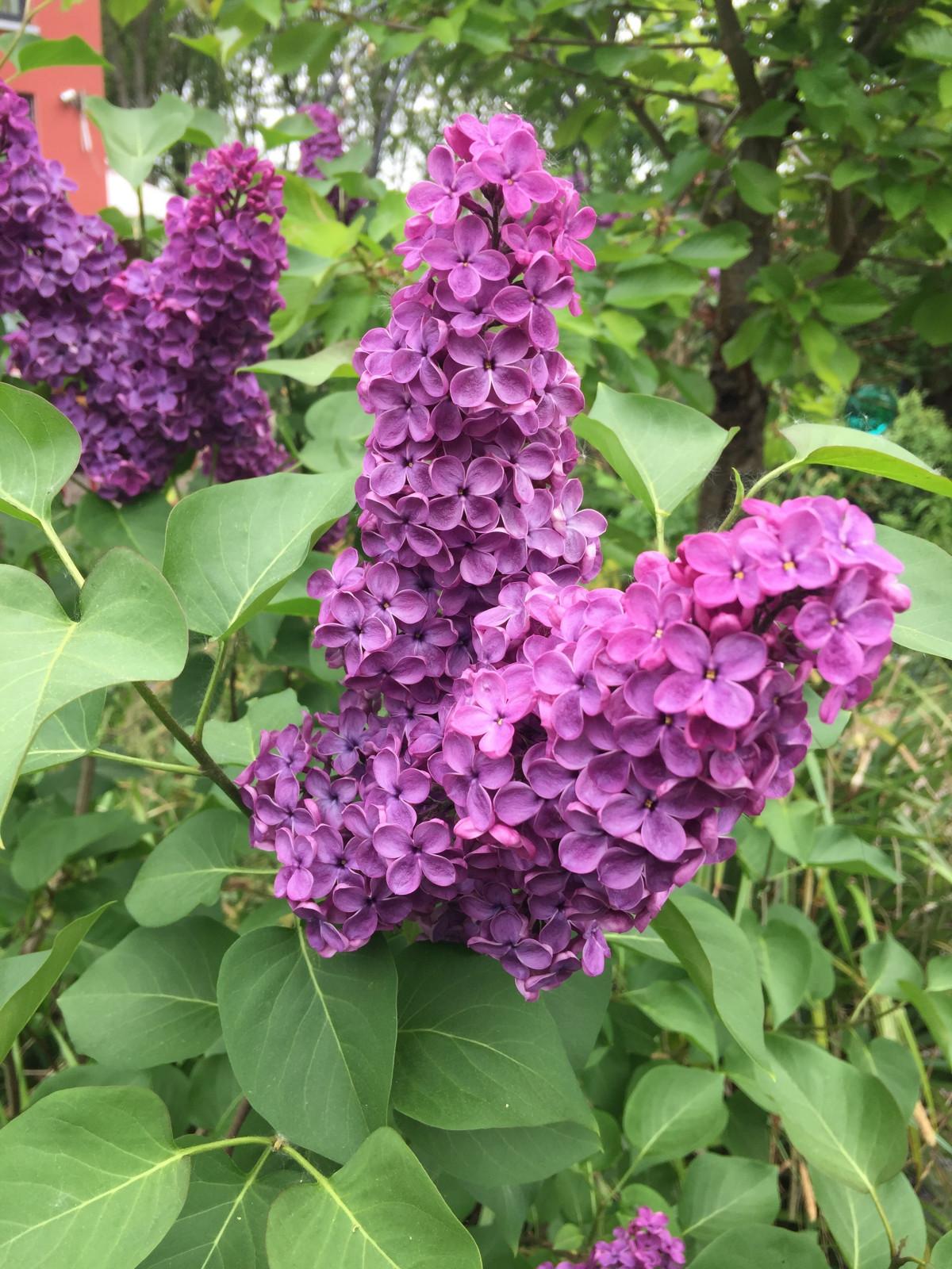 images gratuites la nature violet floraison t vert botanique hortensia fleur sauvage. Black Bedroom Furniture Sets. Home Design Ideas