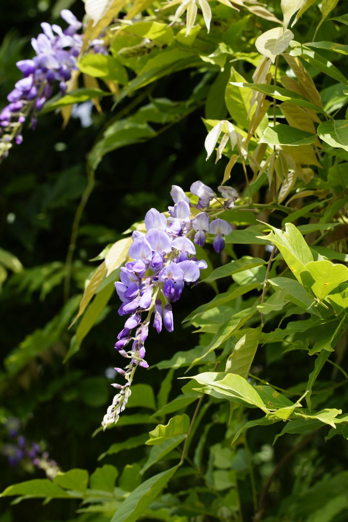 kostenlose foto bl hen blume lila kraut botanik garten flora wildblume blumen strauch. Black Bedroom Furniture Sets. Home Design Ideas