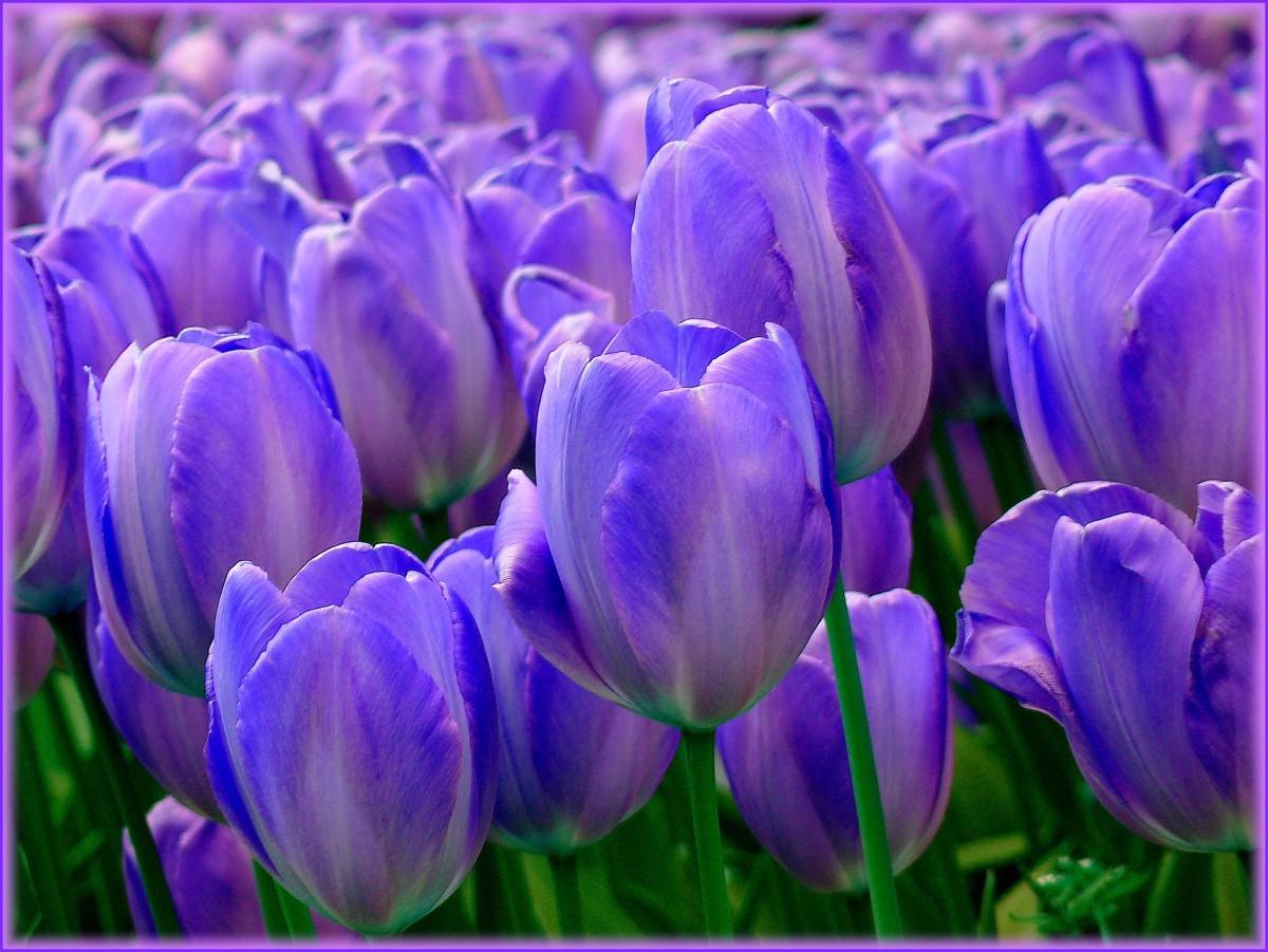 hermosos tulipanes azules