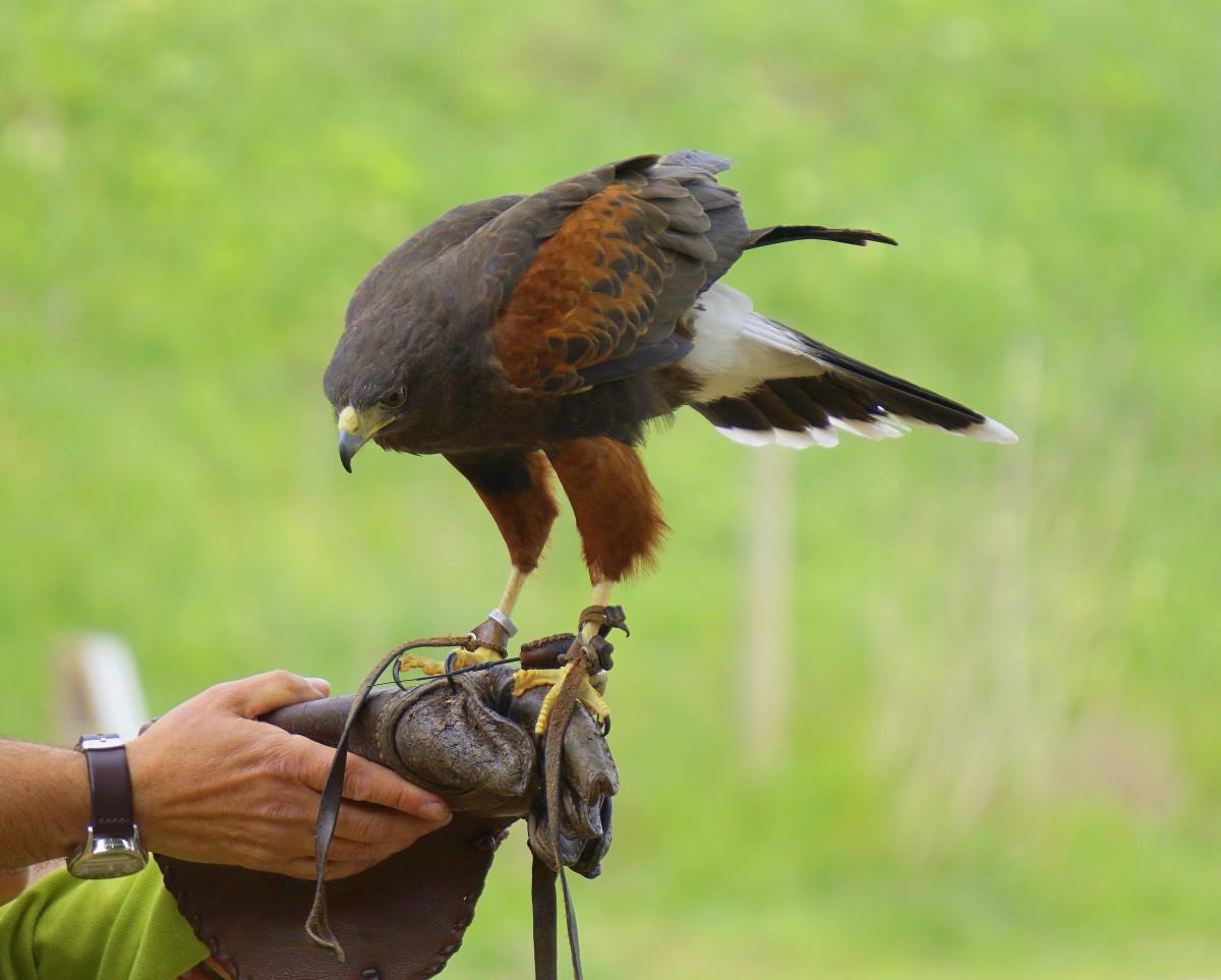 free images peak animal wildlife beak eagle hawk fauna