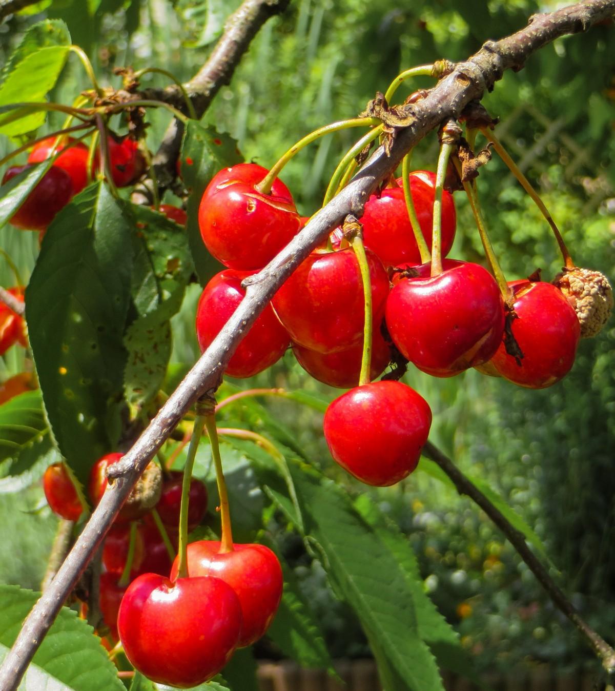 kostenlose foto ast frucht blume sommer lebensmittel rot produzieren strauch bing. Black Bedroom Furniture Sets. Home Design Ideas
