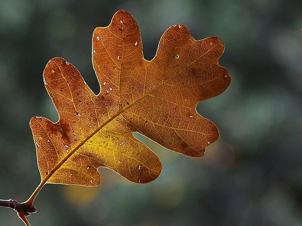 сутки картинка коричневый лист дуба обычной жизни