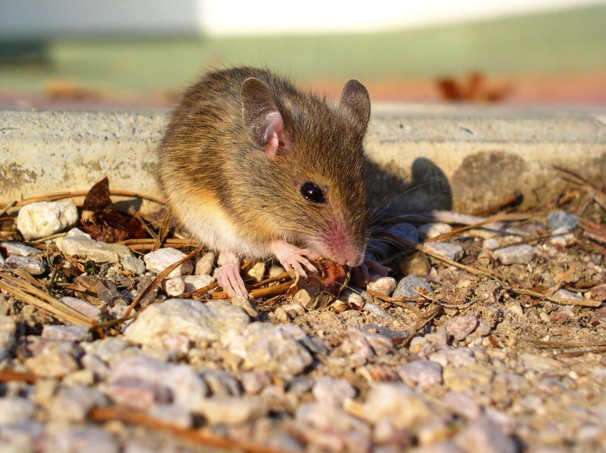 Фото мышки для ребенка