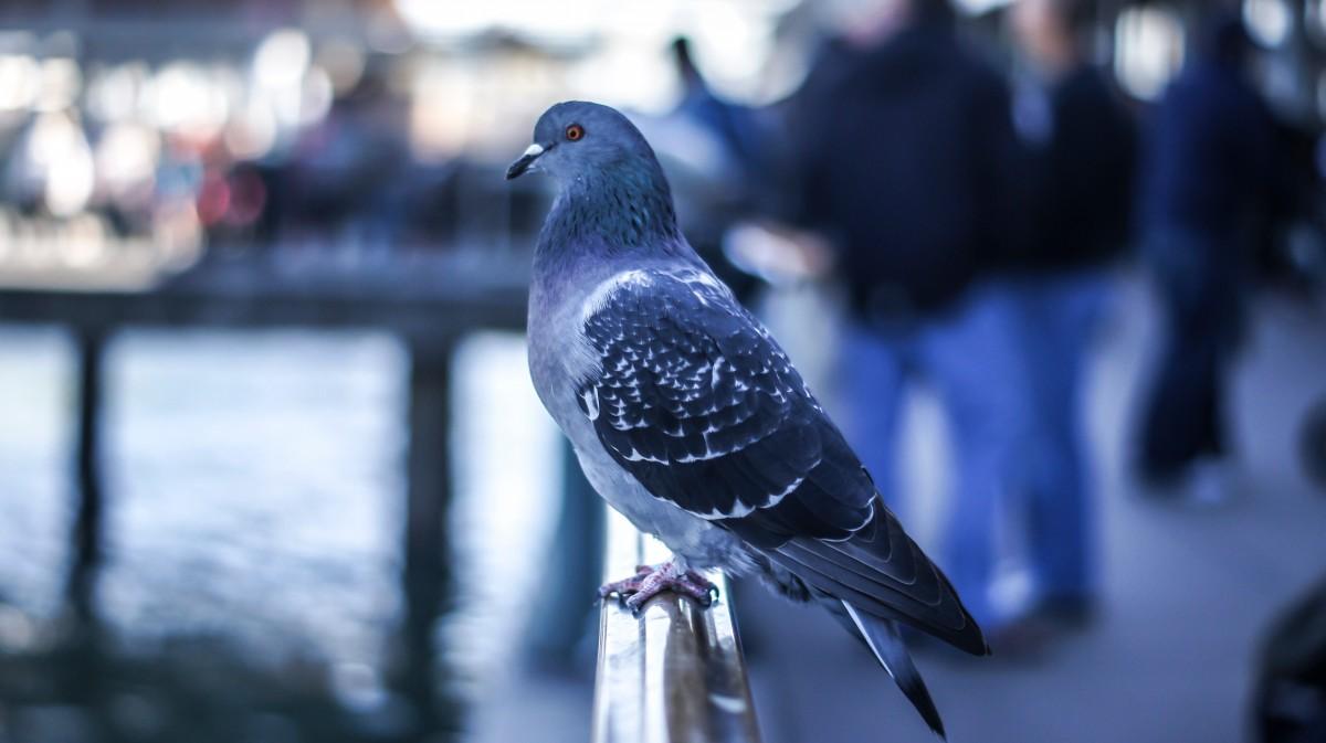 раза день картинка голубь спускается утки ныряли вглубь