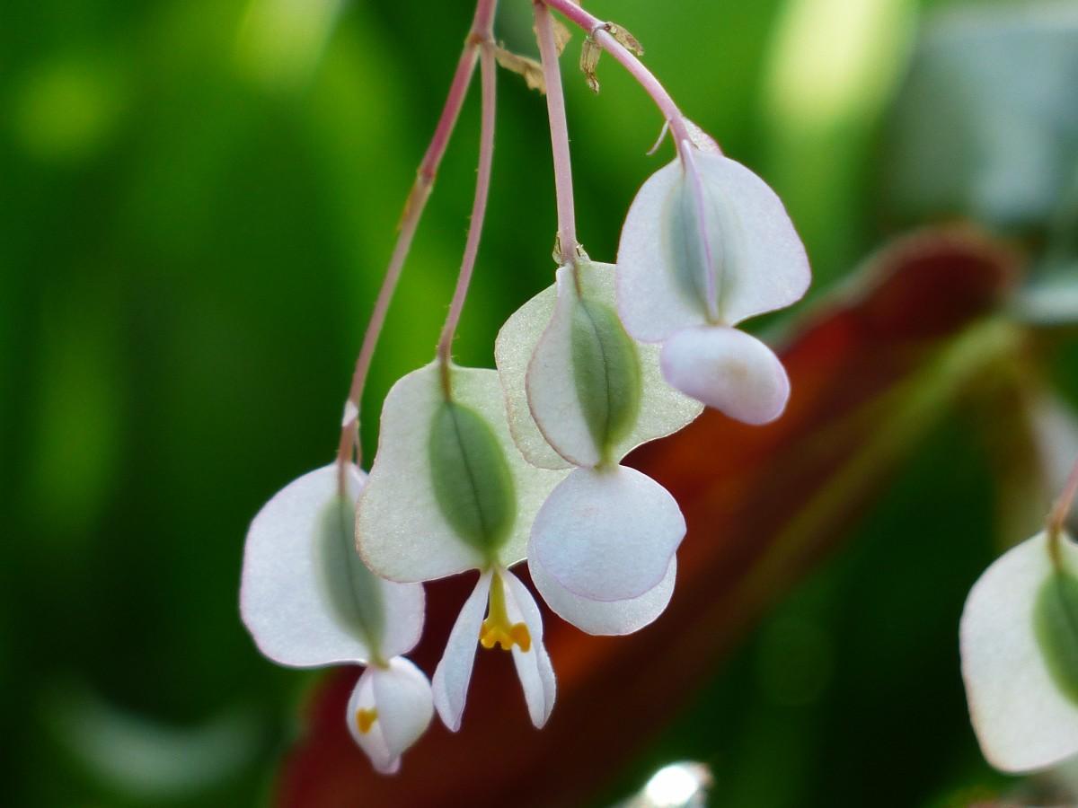 Kostenlose foto natur bl hen wei blatt blume bl tenblatt glocke busch gr n botanik - Begonie zimmerpflanze ...
