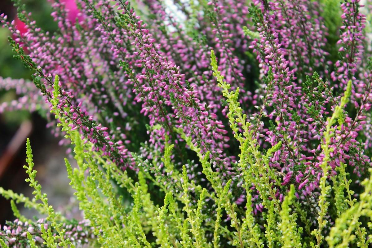 Kostenlose foto landschaft baum natur gras bl hen pflanze sonne rasen stengel blume - Plants de lavande a vendre ...