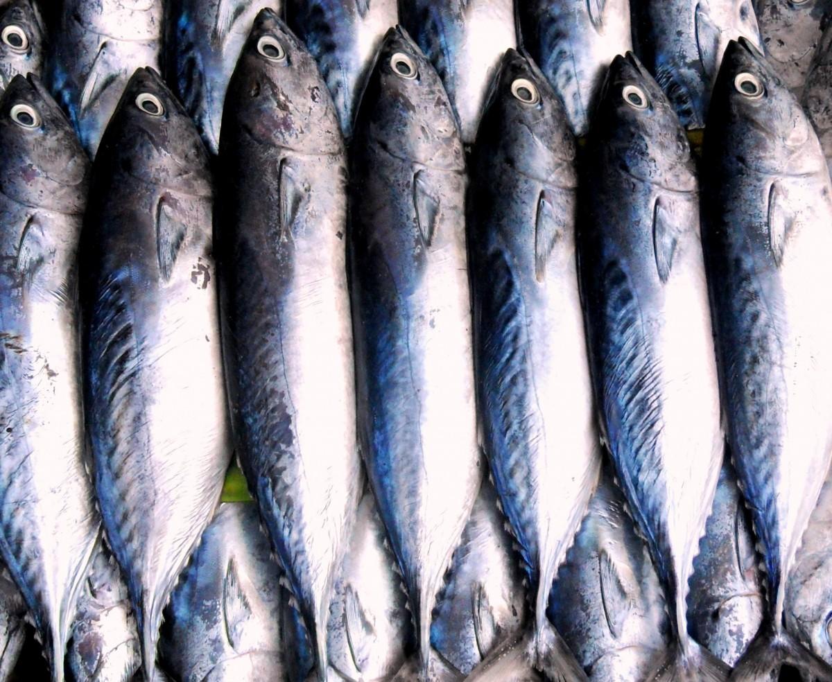 Free Images : fishing, sardine, vertebrate, milkfish ...