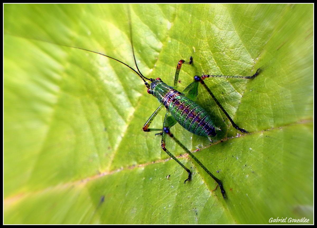 Images gratuites la nature feuille vert insecte - Insecte vert volant ...
