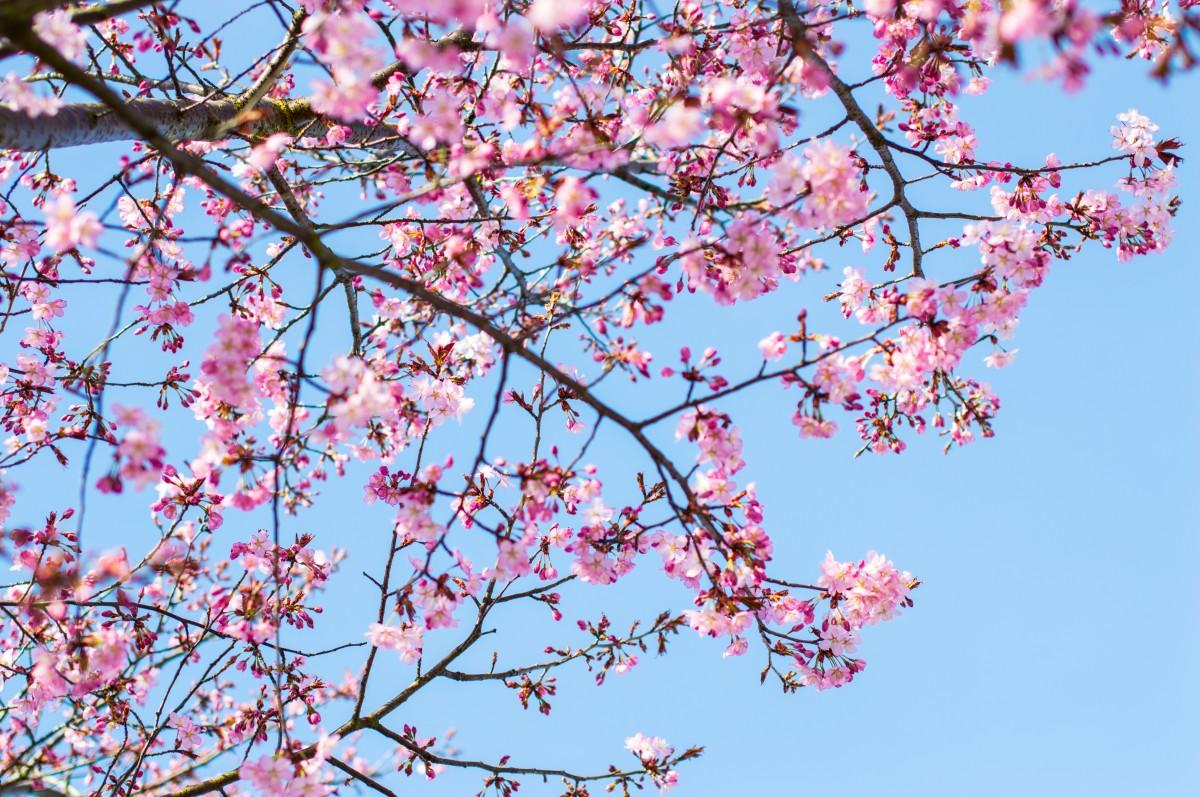 gratis afbeeldingen boom tak bloesem fabriek hemel