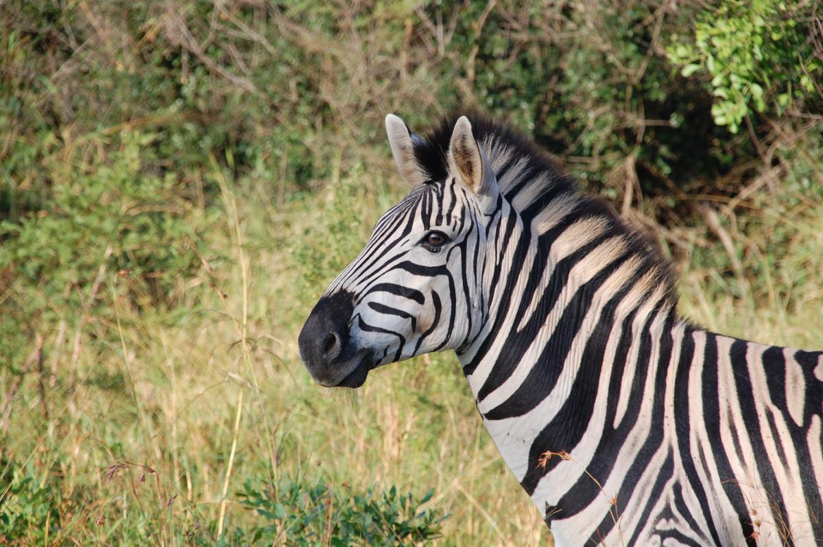 nature wildlife wild africa mammal fauna zebra animals safari south africa horse like mammal
