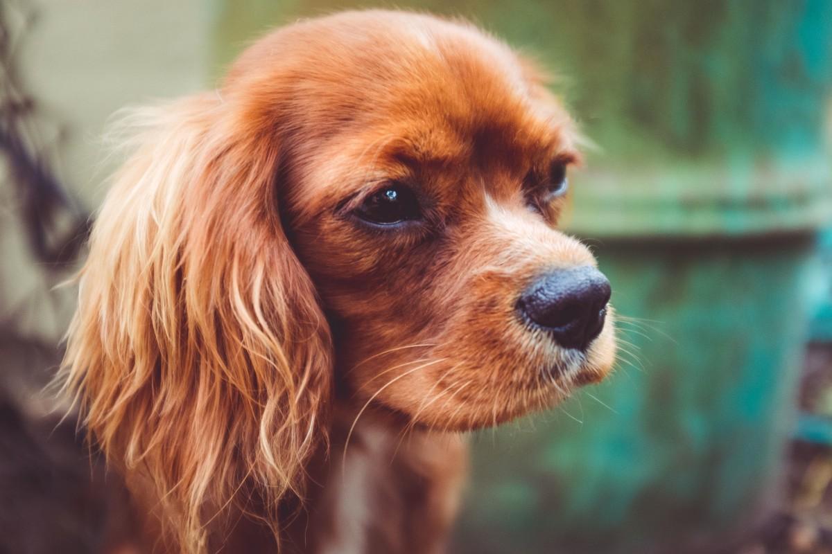 Free Images Vertebrate Dog Breed Cavalier King Charles