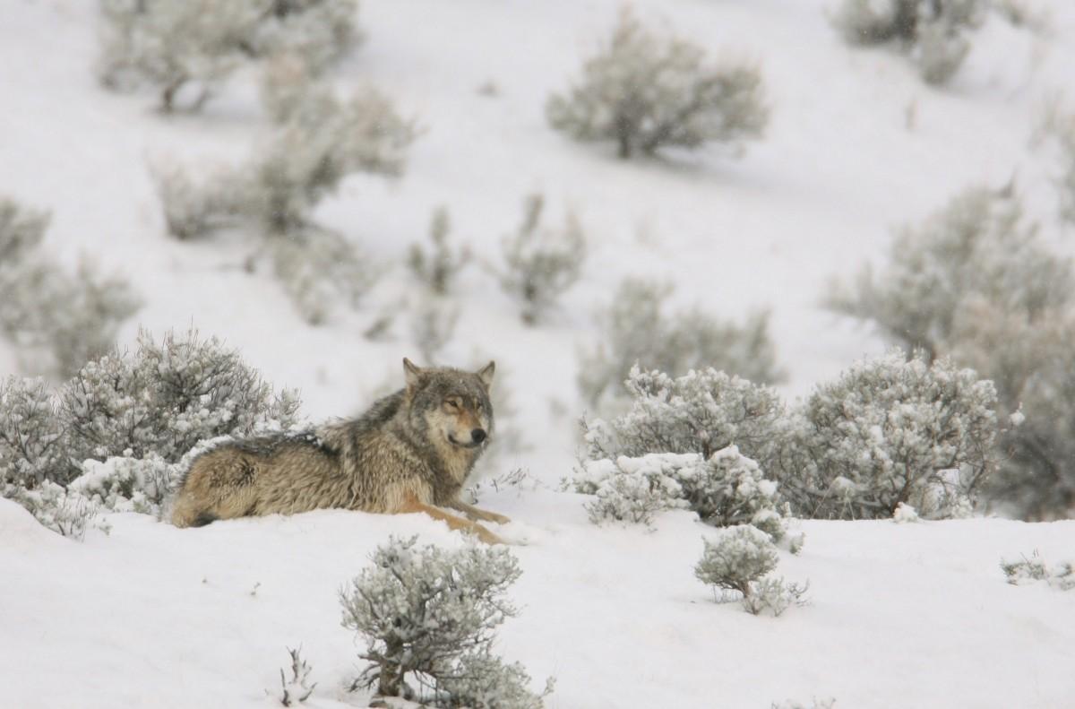 волчица зимой картинки одних углубления