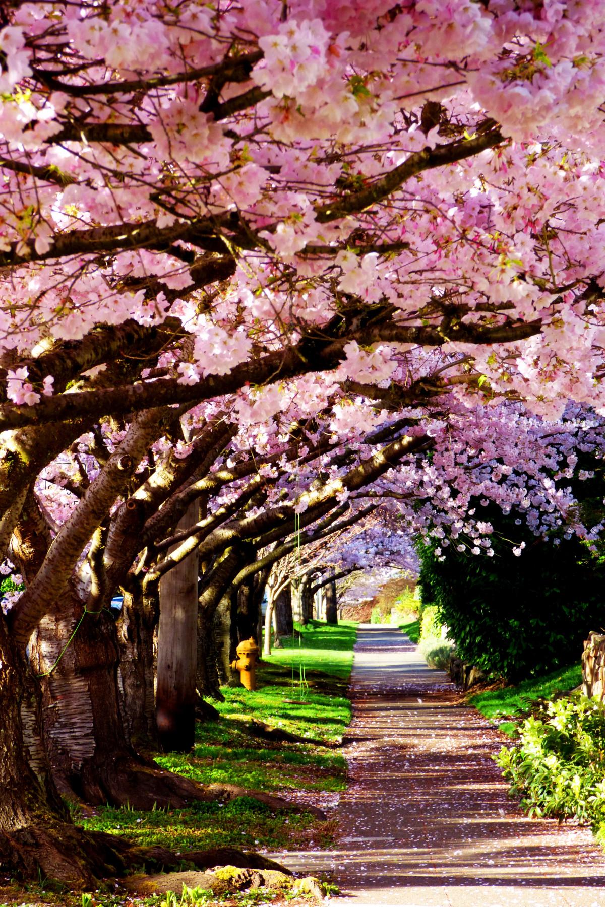 Картинки цветущие сады сакура, для дедушки своими