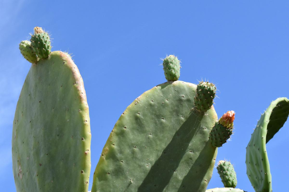 kostenlose foto kaktus frucht blume sommer lebensmittel produzieren botanik flora. Black Bedroom Furniture Sets. Home Design Ideas