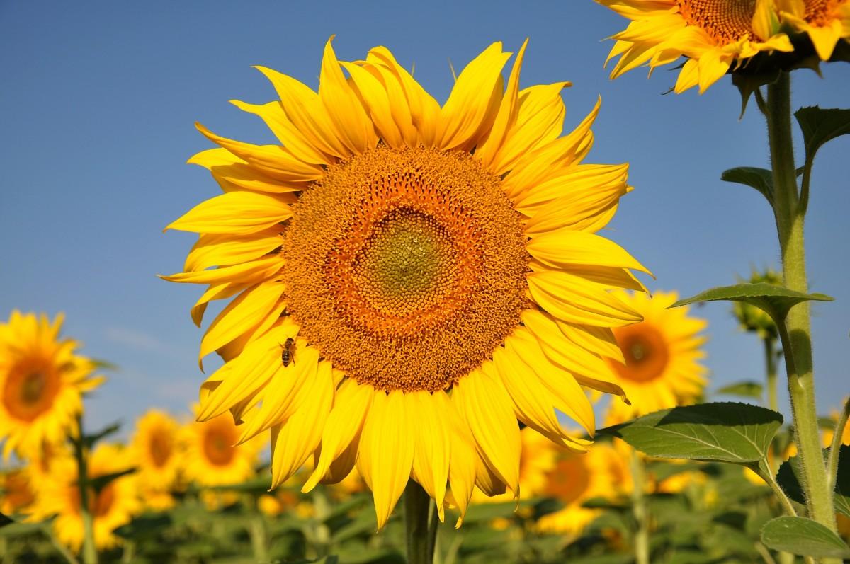 anlegg felt blomst gul flora solsikke gul blomst solsikke felt blomstrende plante tusenfryd familie Asterales solsikke frø årlig plante plante stammen landanlegg