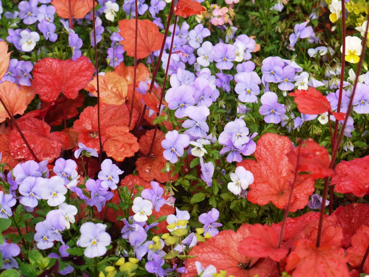Immagini belle natura fiore petalo primavera rosso for Pianta fiori viola