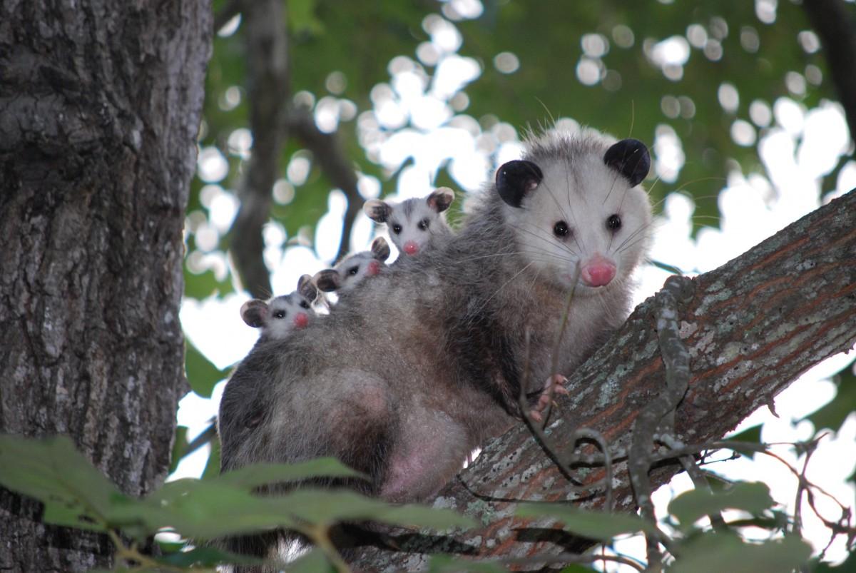 rama animal fauna silvestre salvaje joven mamífero zarigüeya zarigüeya fauna familia vertebrado Texas marsupial Virginia opossum Zarigüeya común
