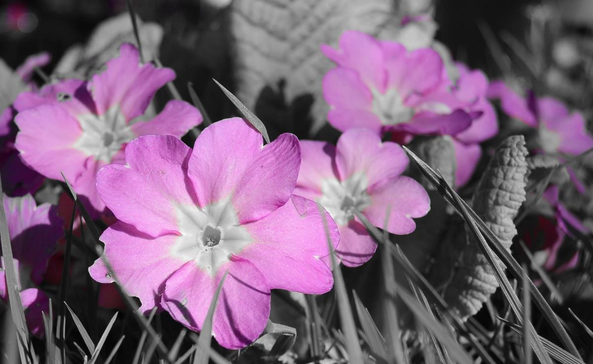 kostenlose foto natur blume bl tenblatt fr hling makro rosa flora blumen primel. Black Bedroom Furniture Sets. Home Design Ideas