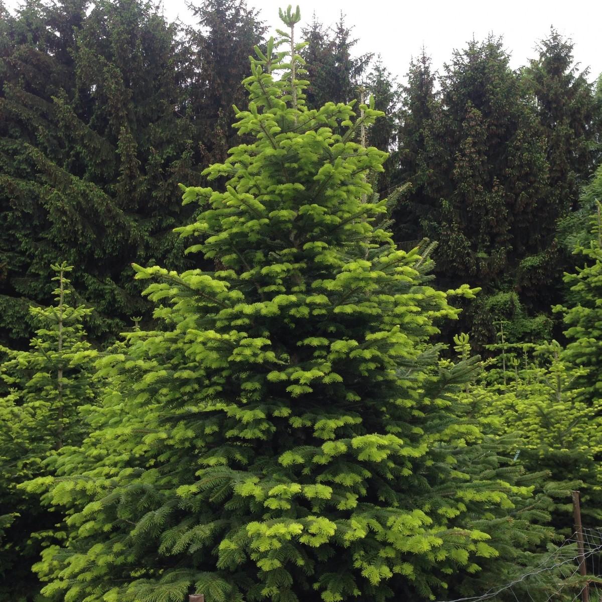 Images gratuites arbre branche feuilles persistantes for Arbres a feuilles persistantes