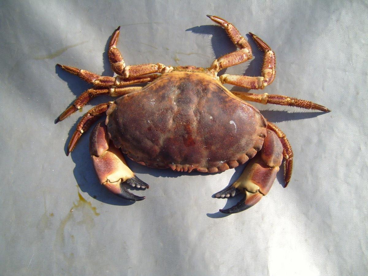 free images food seafood invertebrate crustacean claws