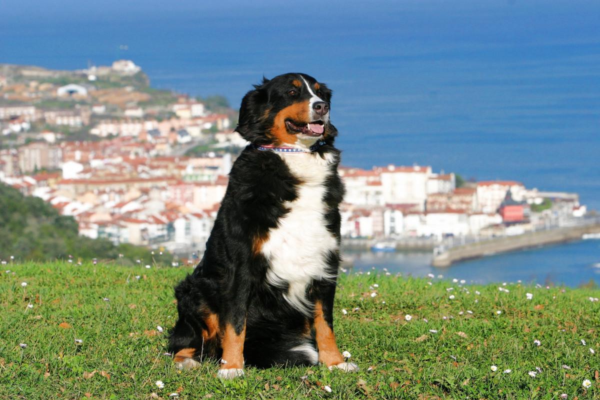 Картинки испанской собаки