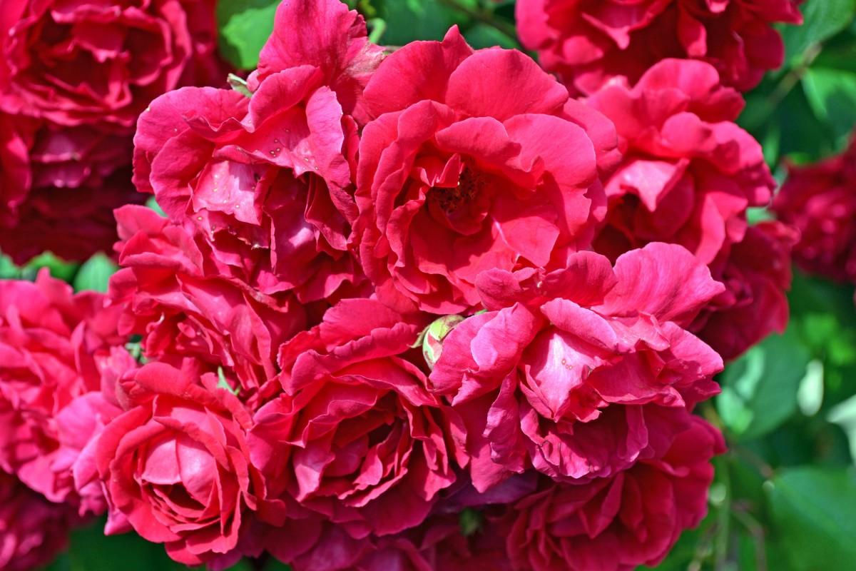images gratuites fleur p tale bouquet rose rouge les plantes des roses couleurs p tales. Black Bedroom Furniture Sets. Home Design Ideas
