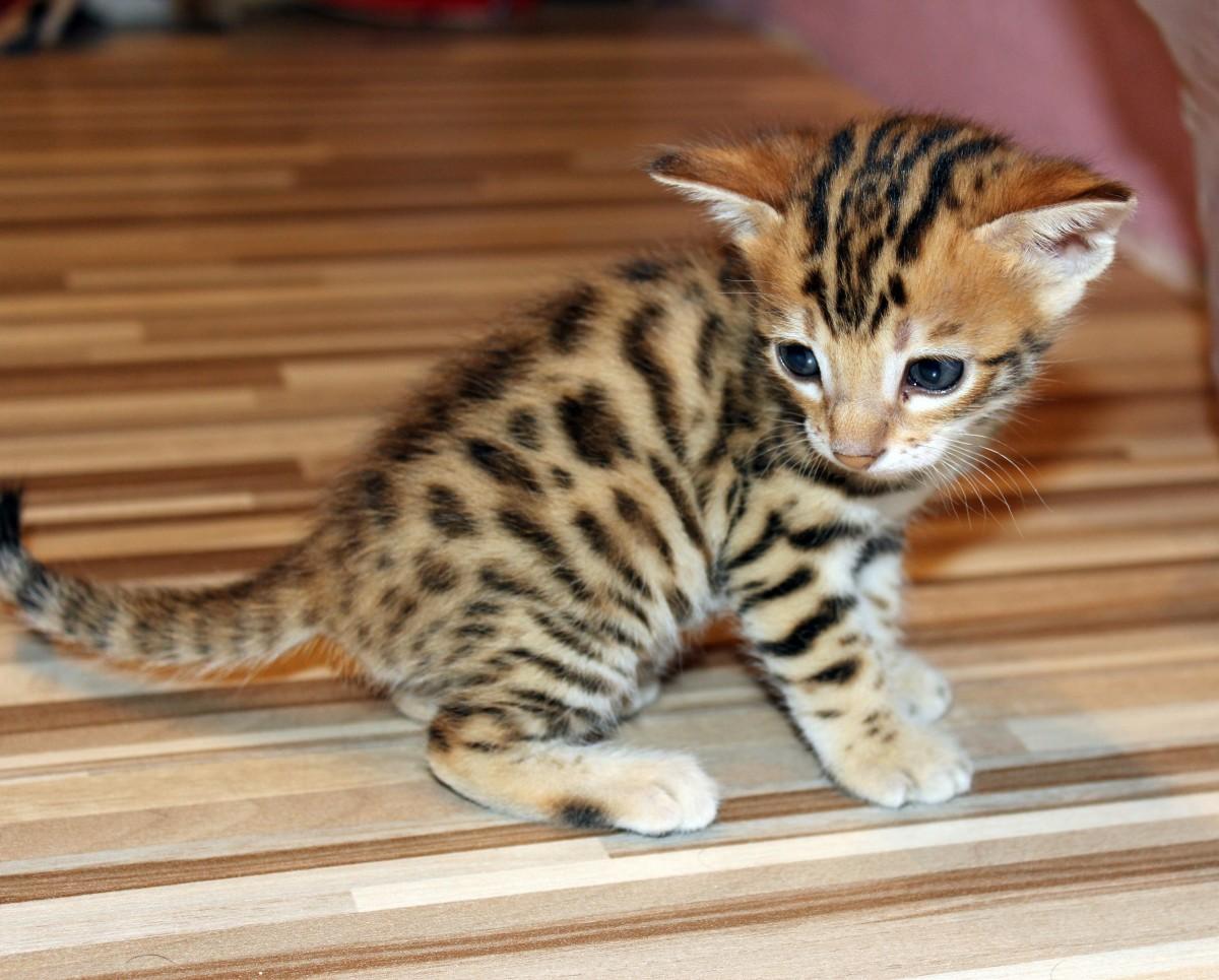 команда картинки бенгальского котика ким кардашьян поделилась