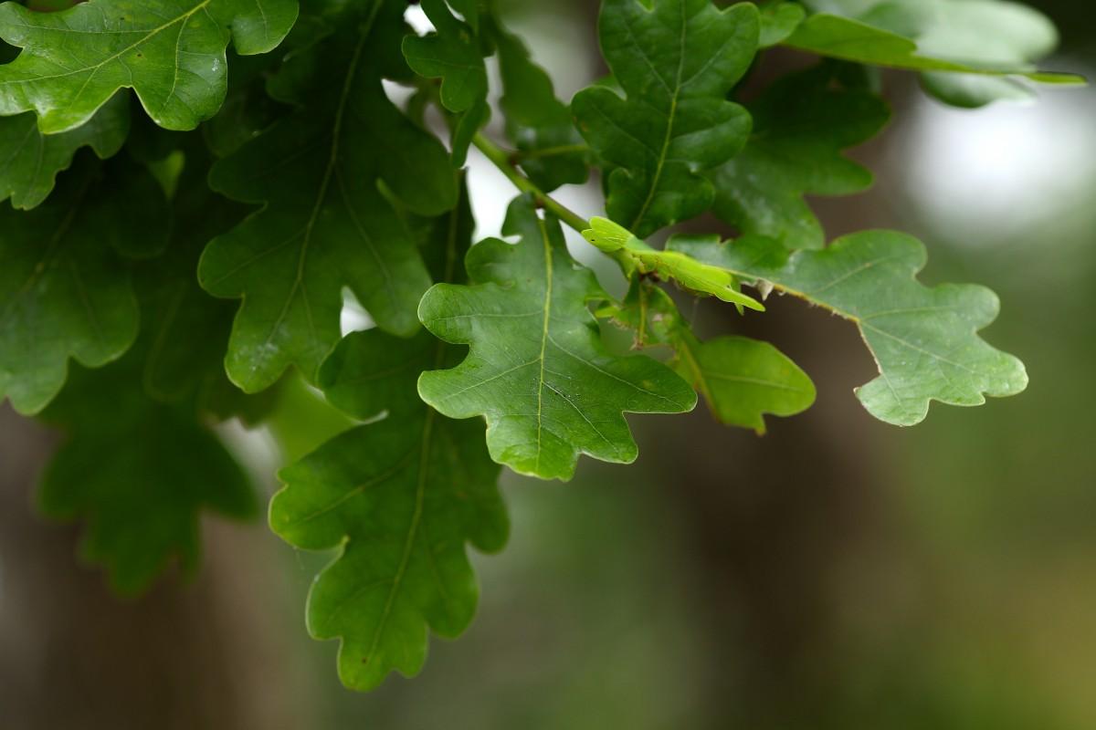 тех какого цвета листья дуба летом фото заглавной фотографии