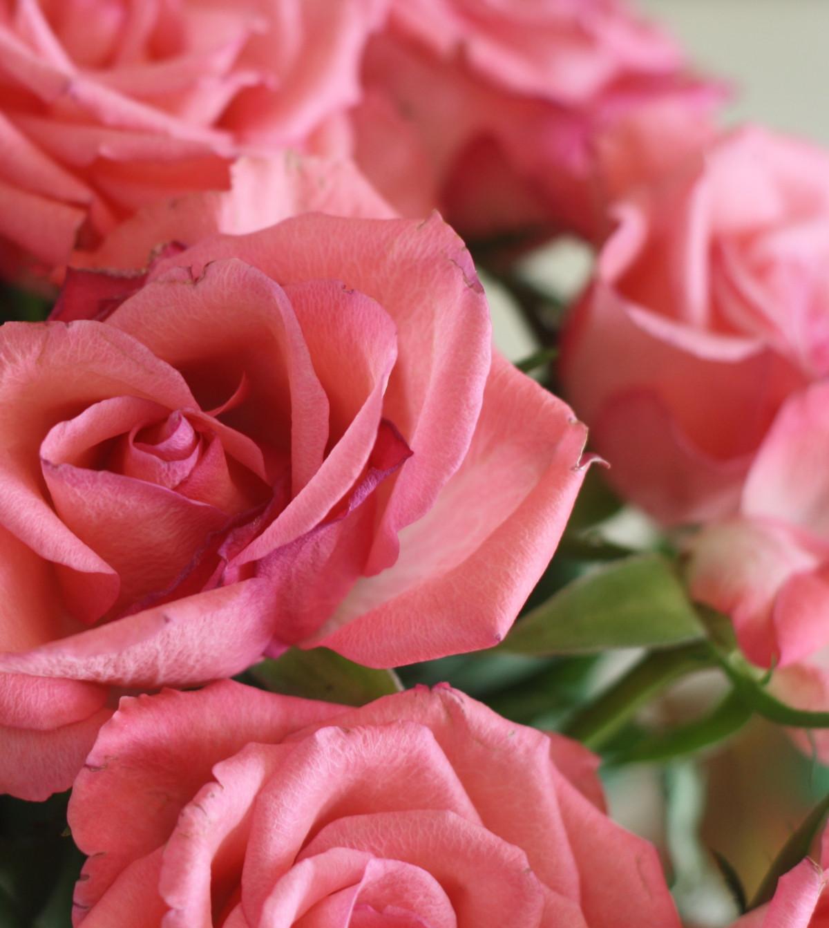 Free Images : Flower, Rose Family, Garden Roses