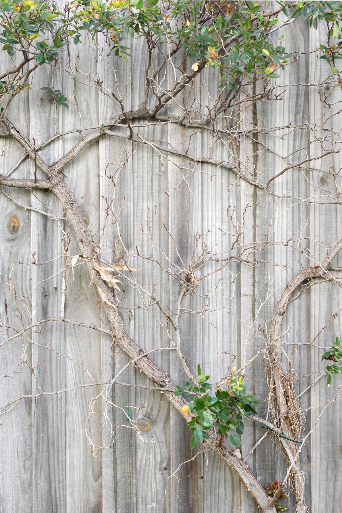 Free Images : tree, branch, fence, wood, leaf, flower, spring, birch ...