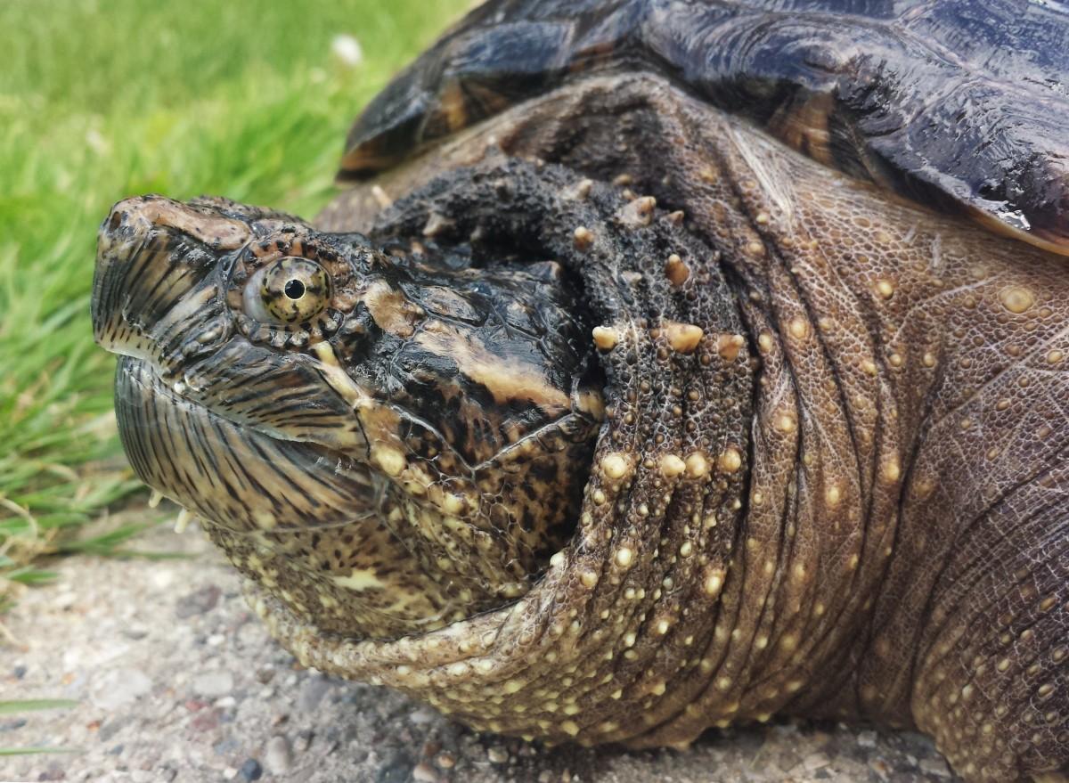 Free Images Wildlife Reptile Fauna Shell Endangered Tortoise