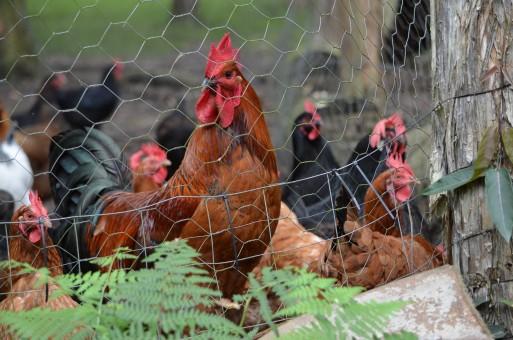 clôture électrique pour poules